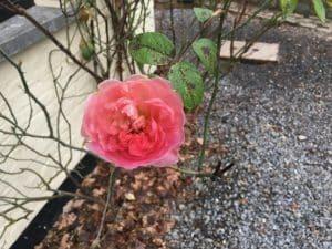 belle et dernière rose en fleur en décembre poussant sur du gravier