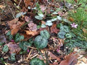 cyclamens poussant en décembre, automne sur un lit de feuilles